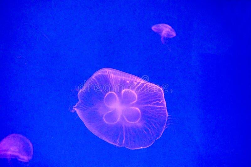 Moon jellyfish royalty free stock image