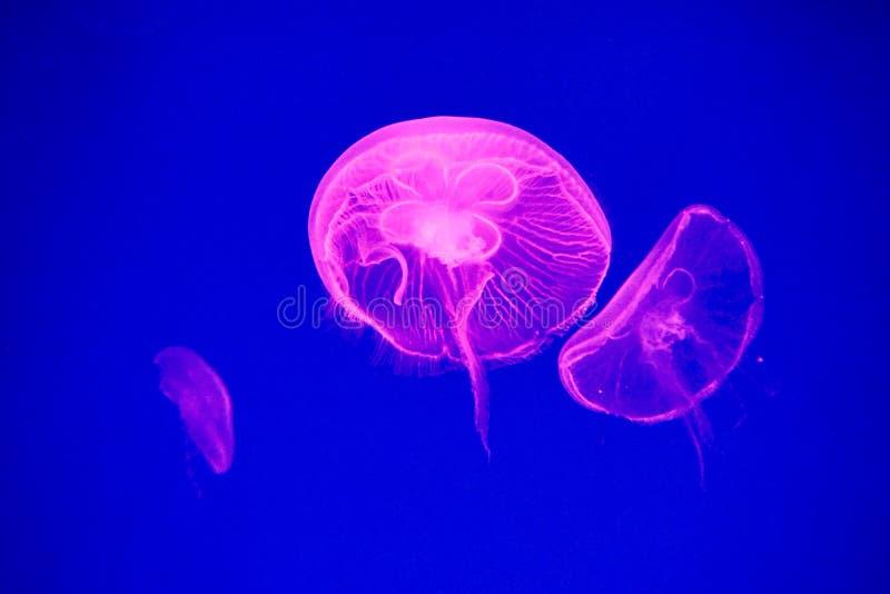 Moon jellyfish royalty free stock photos