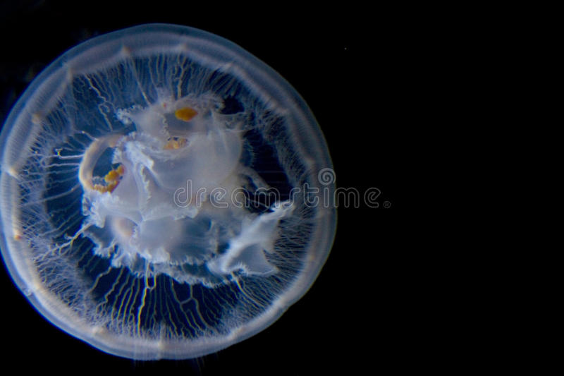 Moon Jellyfish Black Water stock photos