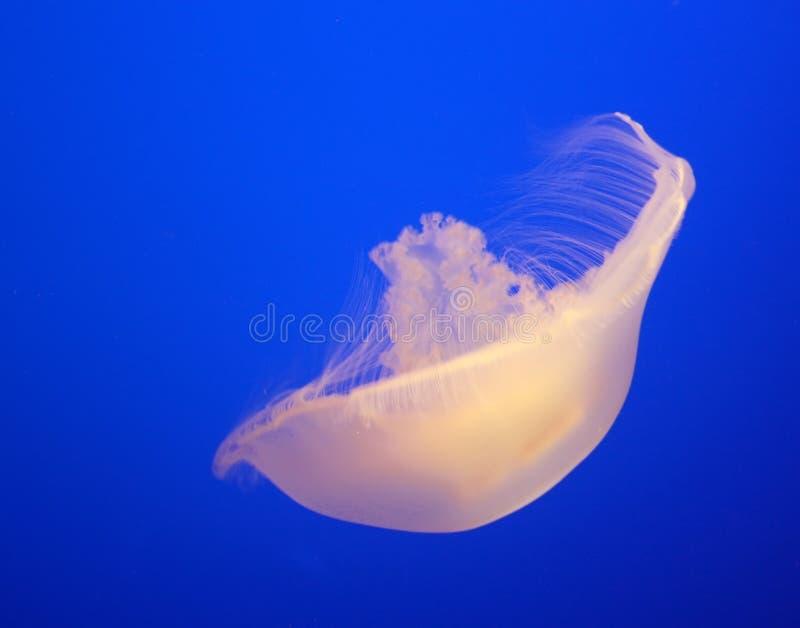 Moon jellyfish royalty free stock photo