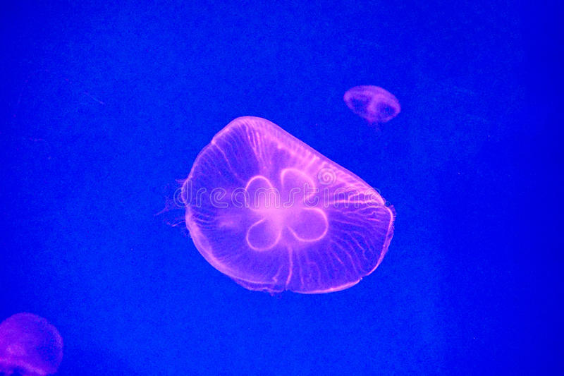 Moon jellyfish royalty free stock photography