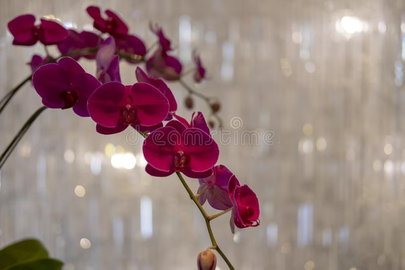 Purple Moon Orchid Flower on bokeh background royalty free stock image