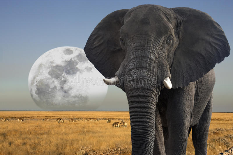 Moon rising over African Wildlife - Elephant royalty free stock images