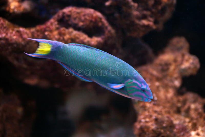 Moon wrasse in aquarium royalty free stock image