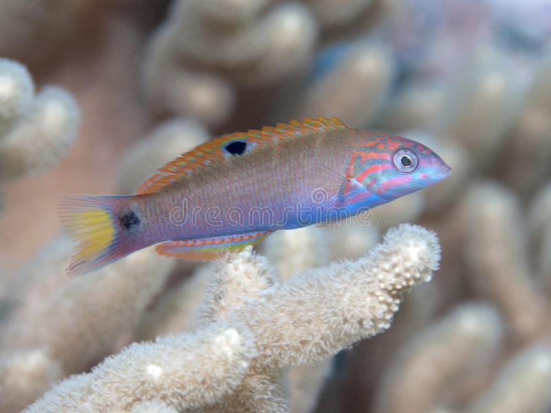 Moon wrasse. In Bohol sea, Phlippines Islands royalty free stock image