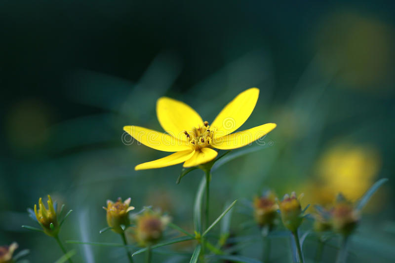 Moonbeam Coreopsis. Yellow moonbeam coreopsis background out of focus stock photography