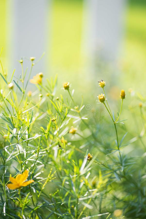 Moonbeam coreopsis tickweed in bright sunlight. Overexposed soft focus for effect stock images