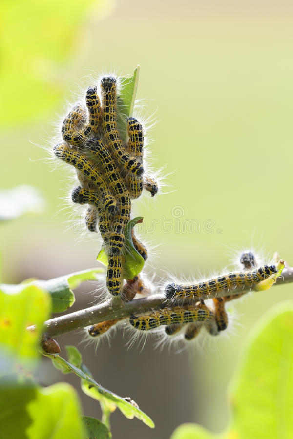 Moonbird - Phalera-bucephala - Caterpillar royalty-vrije stock foto's
