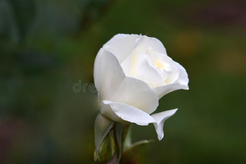 Moondance-Weiß Rose Flower Bud 02 stockfoto