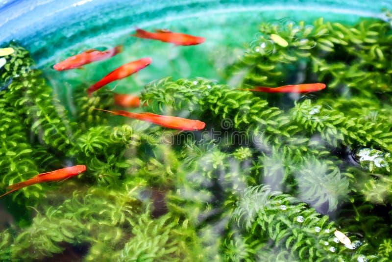 Moonfish и зеленый цвет деланные пи-пи в цистерне с водой стоковое изображение rf