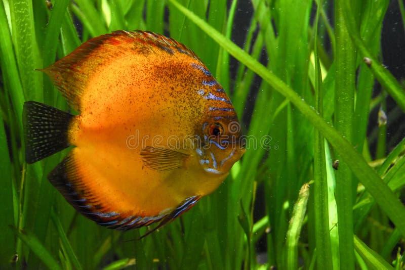 Moonfish i akvarium royaltyfri fotografi