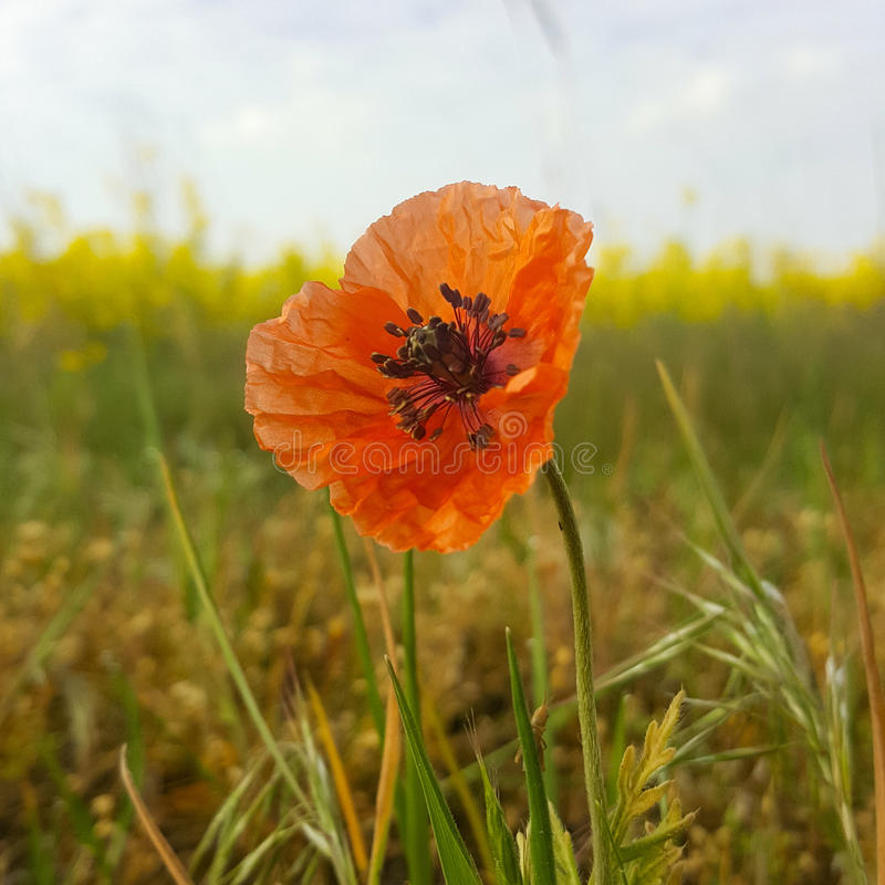Moonflower fotografía de archivo libre de regalías