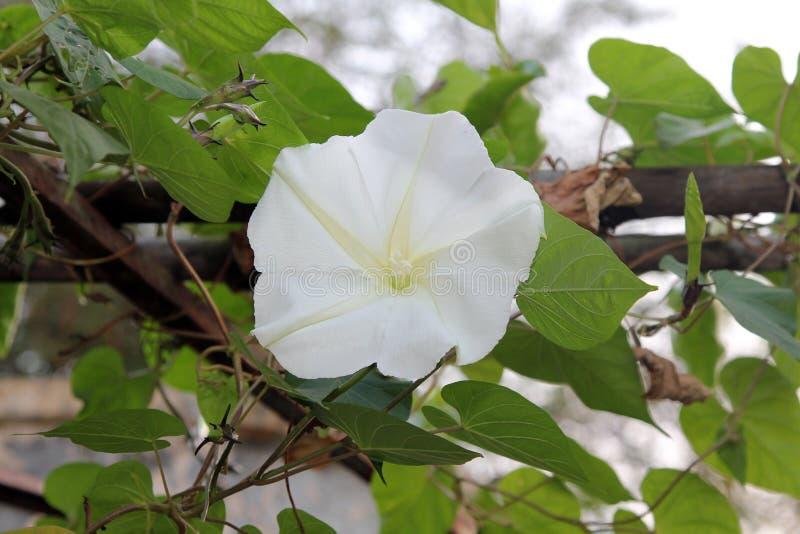 Moonflower Ipomoea albumy L blomming na roślinach, Jadalny kwiat zdjęcia stock