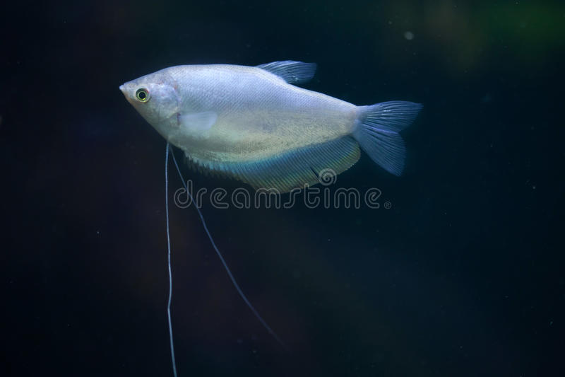 Moonlight gourami (Trichopodus microlepis), also known as the mo. Onbeam gourami. Wildlife animal royalty free stock images