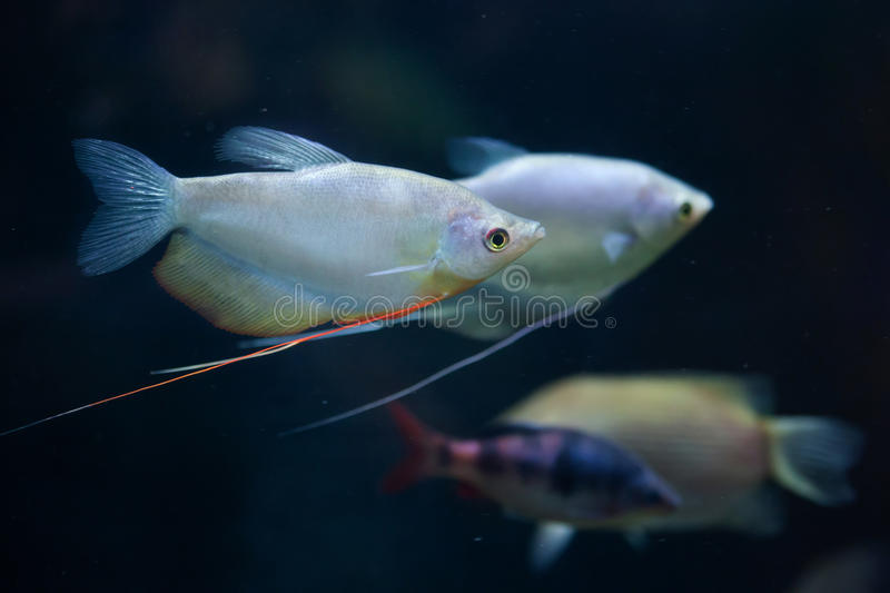 Moonlight gourami (Trichopodus microlepis), also known as the mo. Onbeam gourami. Wildlife animal royalty free stock image