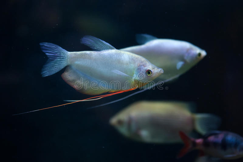 Moonlight gourami (Trichopodus microlepis), also known as the mo. Onbeam gourami. Wildlife animal stock photography