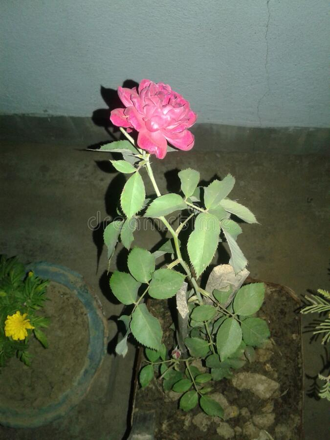 Moonlit rose. This rose is moonlit night and very beautiful and smart royalty free stock photography