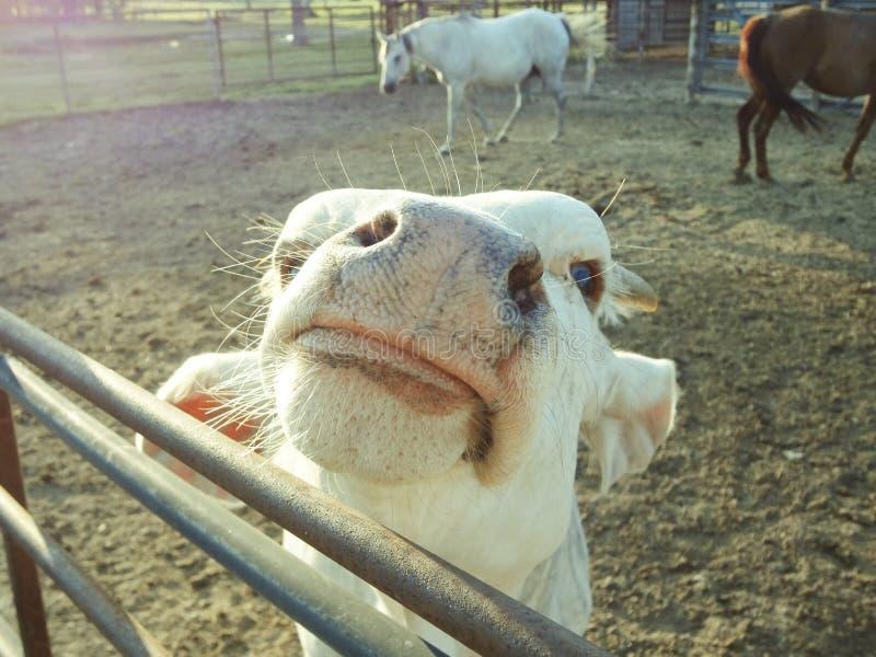 Moooooo! im een paard. stock afbeeldingen