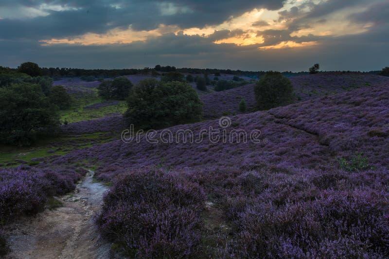 Download Moor in Bloom stock photo. Image of gelderland, area - 27147634