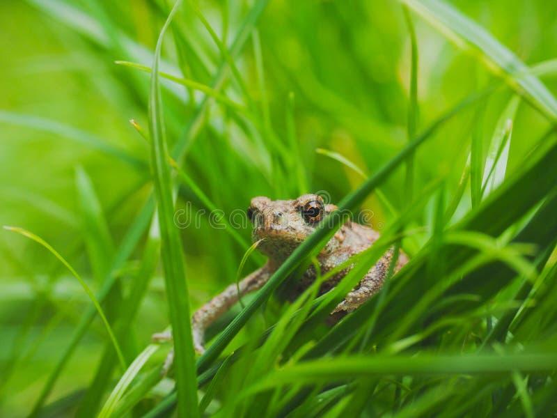 Moor Frog. A moor frog hiding in a field stock image