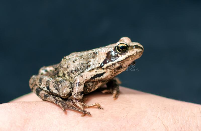 Moor frog Rana arvalis sitting on a man`s hand. Slim, reddish-brown Moor frog Rana arvalis sitting on a man`s hand. This semiaquatic amphibian is a member of the royalty free stock photo