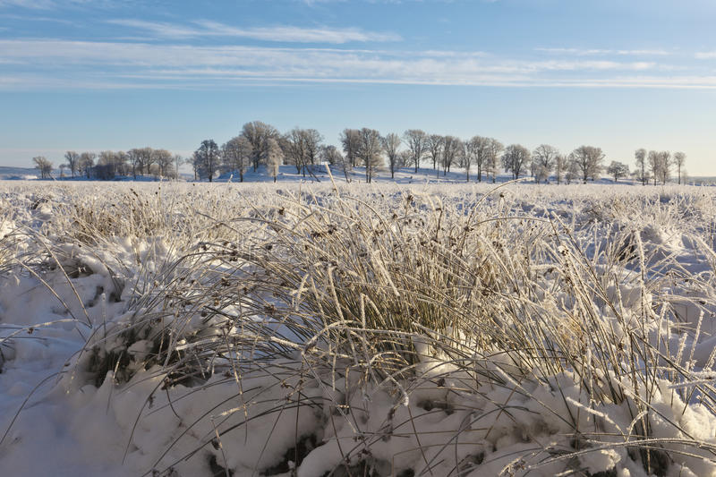 Moor with tufts of grass in snow stock photography