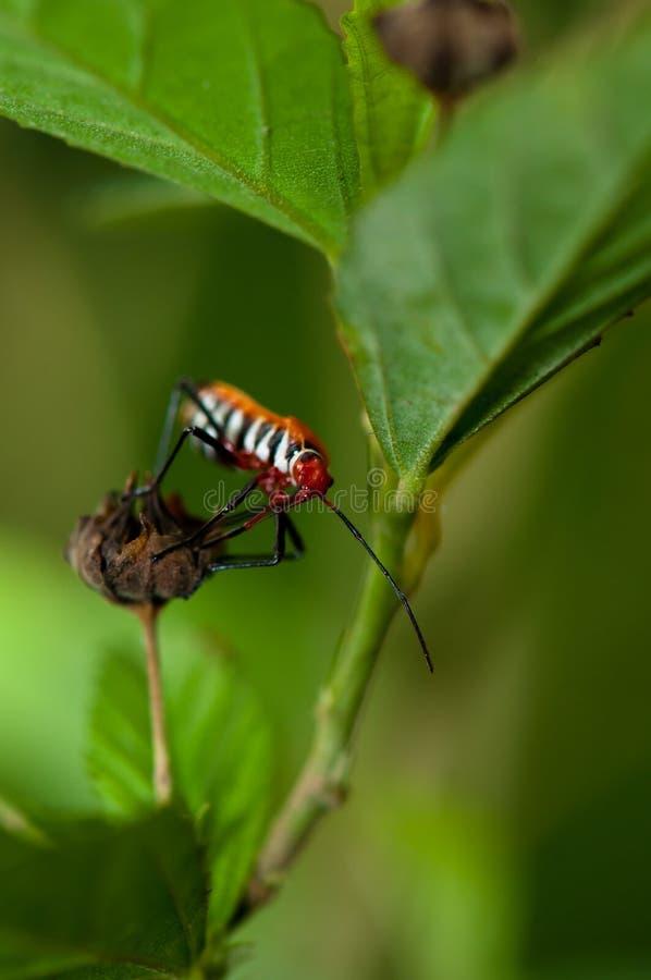 Moordenaar Bug royalty-vrije stock foto