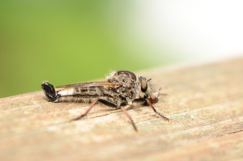 Moordenaar Fly met benen rond vliegmaaltijd die worden verpakt stock afbeelding