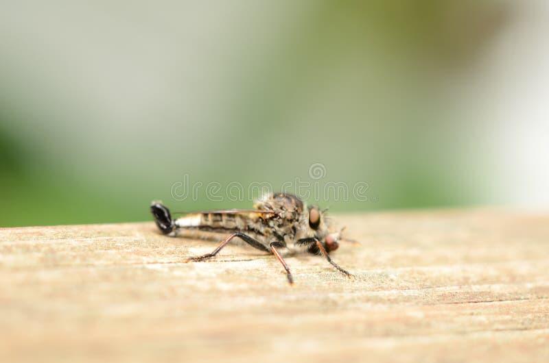 Moordenaar Fly met enkel gevangen prooi op houten raad stock afbeelding
