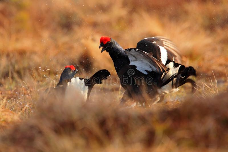 Moorhühner, Tetrao tetrix, lekking schwarze Vögel des Kampfes im Marschland Rote Kappe geht, Tier im Naturwaldlebensraum, Norwege stockfotos