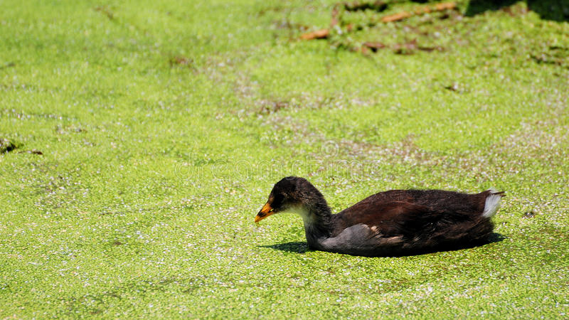 Download Moorhen Chick stock photo. Image of park, food, creature - 21294244