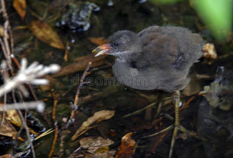 Moorhen Chick in Bushes at Coy Pond royalty free stock photos