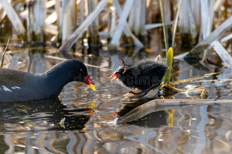 Moorhen duckling being fed by adult. The wings of the duckling look like horns stock images