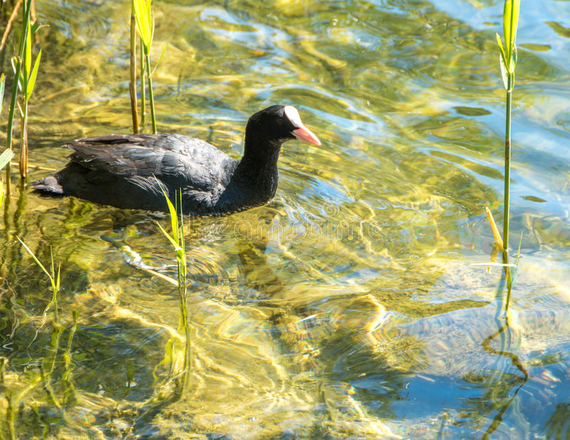 Moorhen on a lake stock images