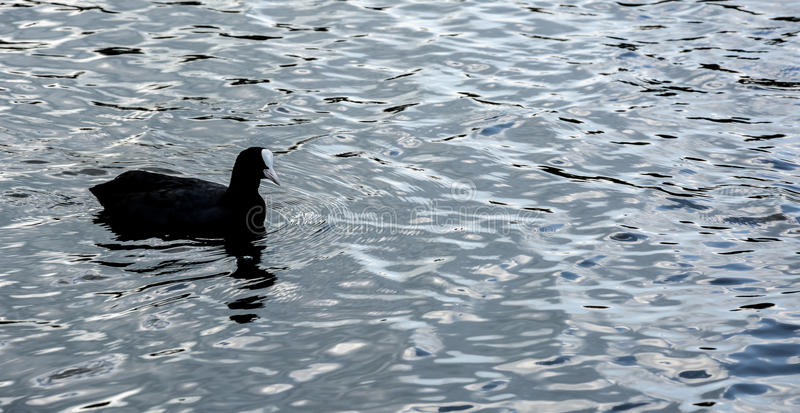 A Moorhen on the open water. A picture of a moorhen on lake at Petworth House, looking like it is floating on a river of silver, casting a nice ripple effect stock photos