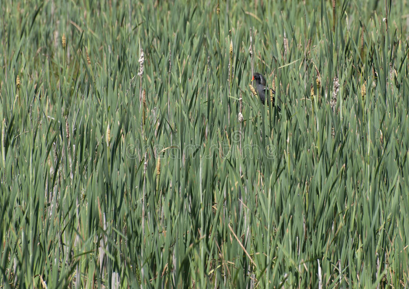 Moorhen in the Rushes stock image