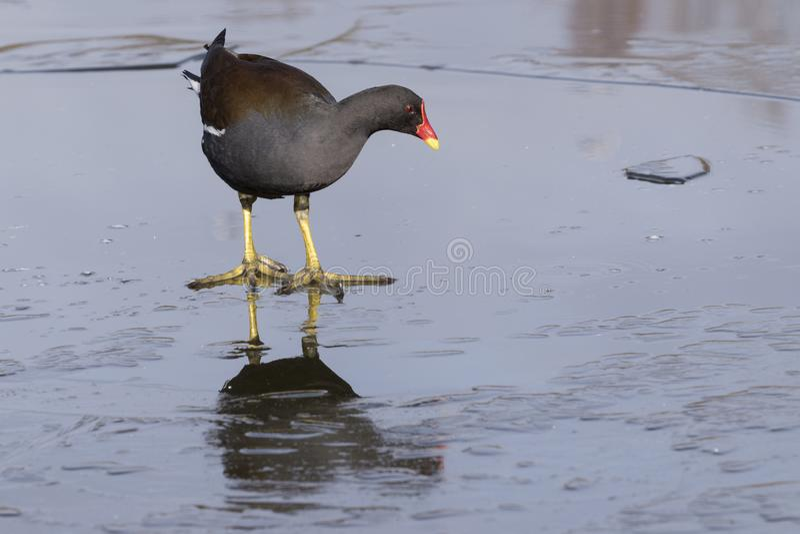 Download A Moorhen Walking On The Ice Stock Photo - Image of walking, southampton: 109566598