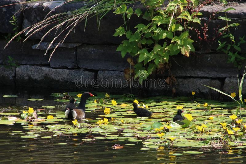 Moorhen with young on yellow water lily leaves stock images