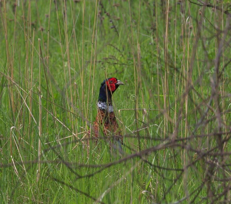 Moorhuhn, das im Gras sich versteckt stockbild