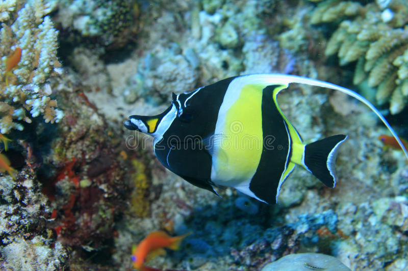 Moorish idol. In the tropical coral reef stock images