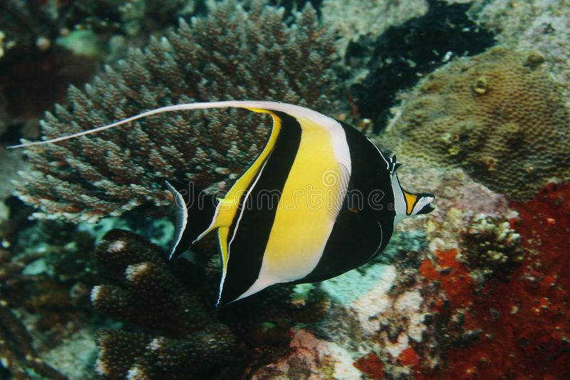Moorish Idol. (Zanclidae) over coral in the Indian Ocean royalty free stock image