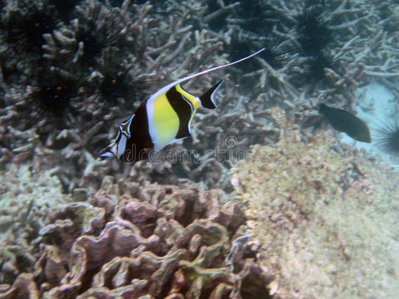 Moorish idol fish. Swimming in coral reef stock images