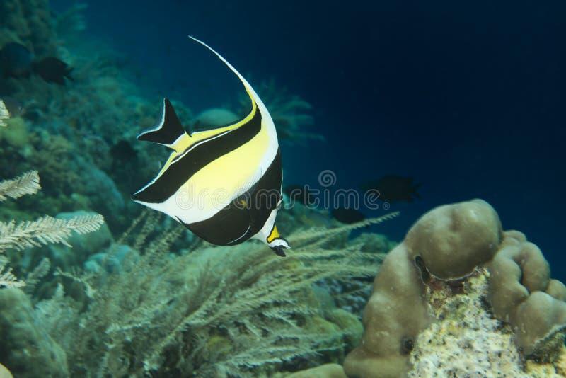 Moorish idol. Fish underwater portrait royalty free stock photo