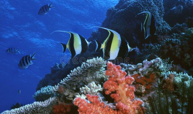 Moorish Idol Reef royalty free stock photos