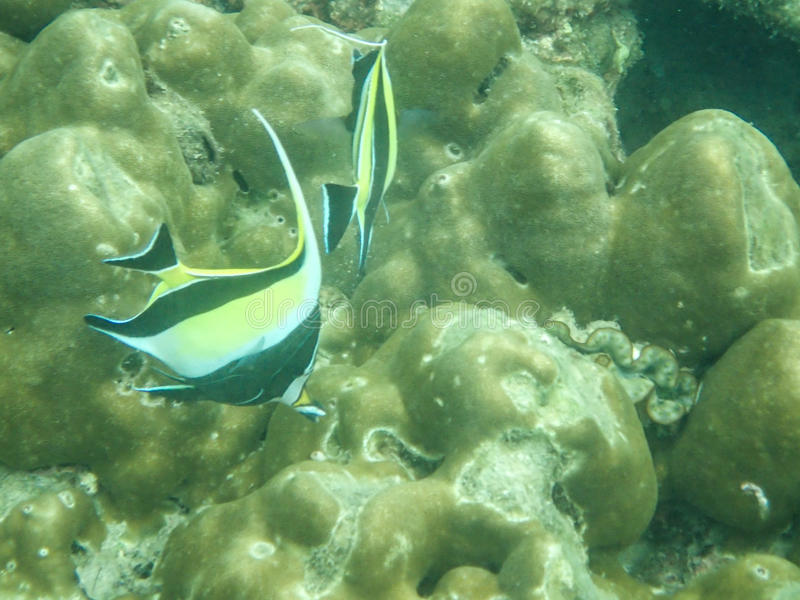 Moorish idol tropical fish stock image