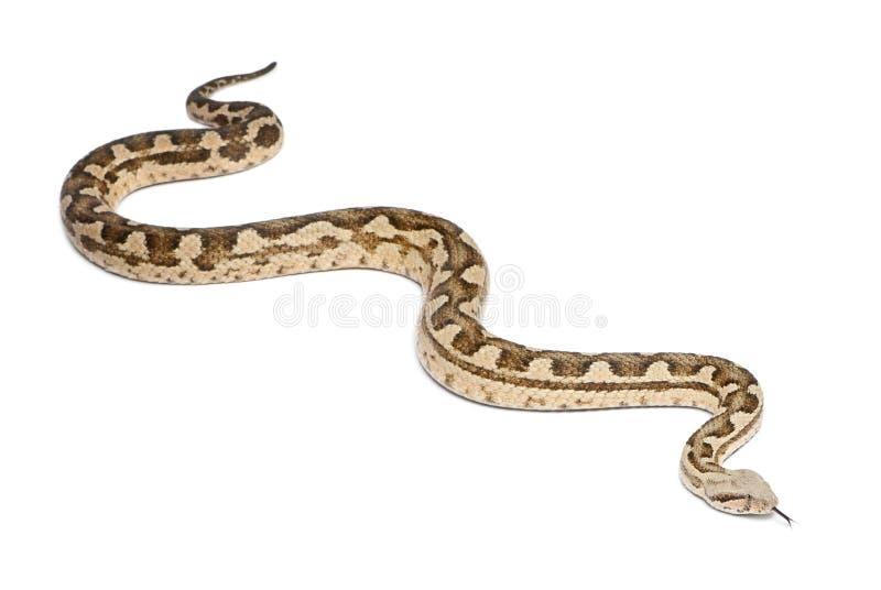 Download Moorish Viper - Macrovipera Mauritanica Stock Photo - Image of animal, crawling: 23771154