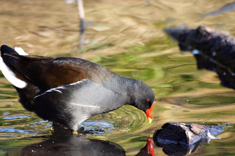 Moorthenvogel stock foto's