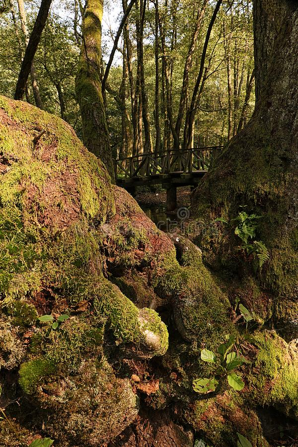 Moos auf Baumrinde und Holzbrücke im Hintergrund Vertikal lizenzfreie stockfotos