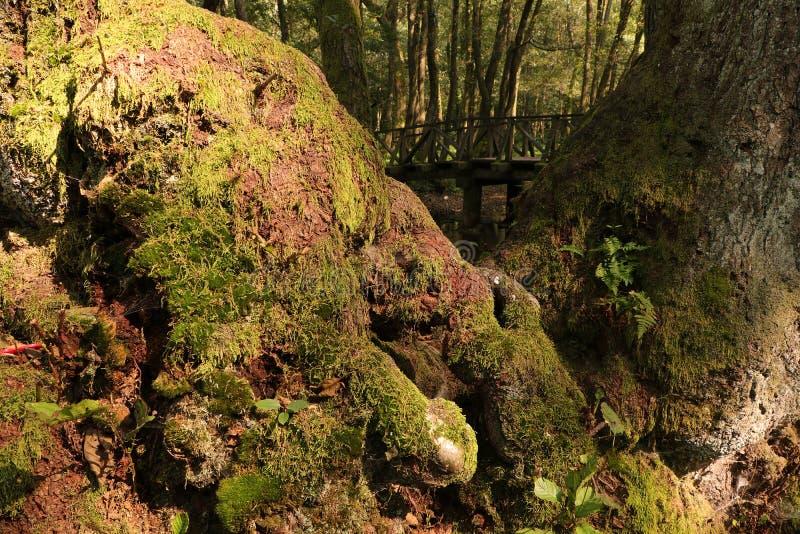 Moos auf der Rinde von sehr altem Holz und Seide einer Holzbrücke im Hintergrund im WaldHorizontal stockbilder