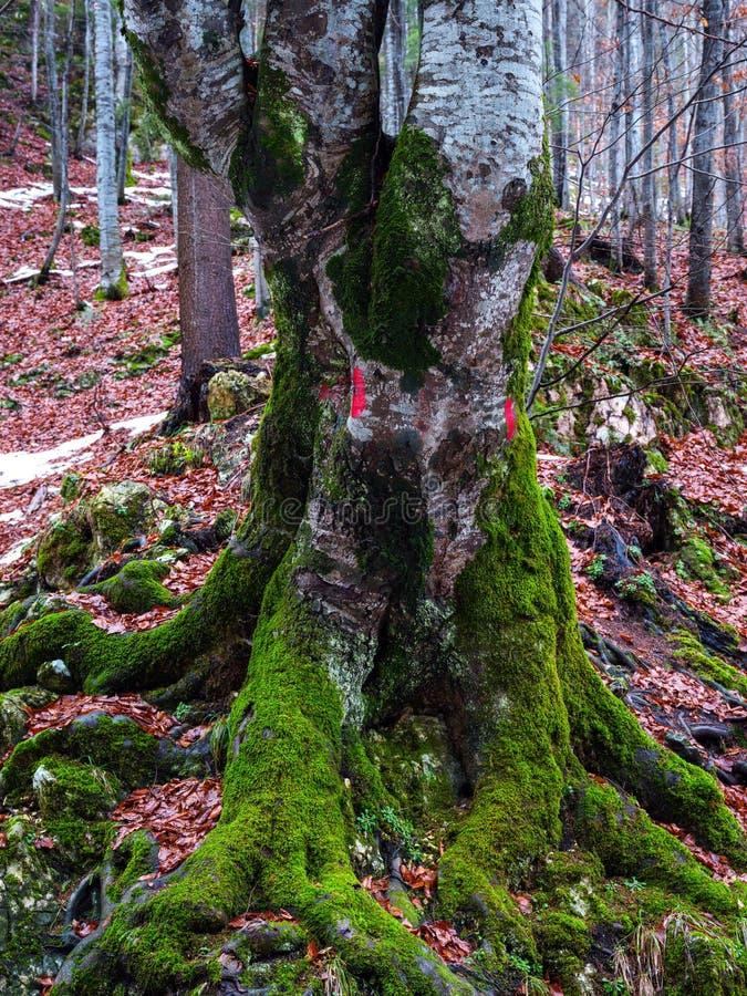 Moos bedeckte großen Buchenbaum stockfotografie